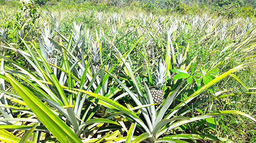 ananas de pépé Chaying