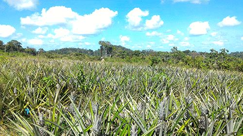 champs ananas